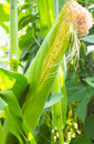 Corn ripening on the cob Royalty Free Stock Photography