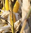 corn rotten Royalty Free Stock Photo