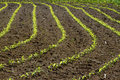 Corn rows growing in soil Royalty Free Stock Photography
