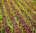 Corn Rows Royalty Free Stock Photo