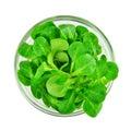 Corn salad leaf vegetable, lamb`s lettuce isolated on white Royalty Free Stock Photo