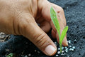 Corn seedling with hand apply fertilizer Stock Images