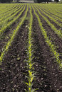 Corn seedlings crop field in spring Royalty Free Stock Photos