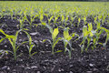 Corn seedlings crop field in spring Royalty Free Stock Images