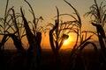 Corn In The Setting Sun