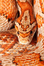 Corn snake Royalty Free Stock Photo