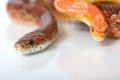 Corn snakes two isolated on white Stock Photography