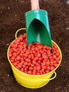 Corn sowing seed colored in yellow bowl Stock Photo