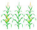 Corn stalk. Isolated corn on white background Royalty Free Stock Photo