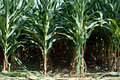 Corn Stalks Royalty Free Stock Photo