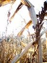 Corn stalks in a corn field Royalty Free Stock Photo