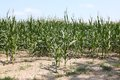 Corn stalks in dry earth Royalty Free Stock Photo