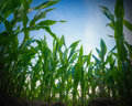 Corn stalks green field perspective from the ground Stock Images