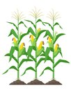 Corn stalks isolated on white background. Green corn plants on the field vector illustration in flat design. Royalty Free Stock Photo