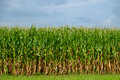 Corn Stalks ready for picking Royalty Free Stock Photo