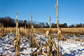 Corn stalks in snowy field Stock Photography