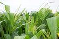 Corn Stalks Royalty Free Stock Photo