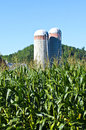 Corn Stalks with two silos in background Stock Photography