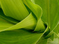 Corn steam fragment of with leaves Stock Image