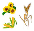 Corn, Sunflowers and Wheat Royalty Free Stock Photo