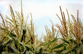 Corn tassel sway in the late summer breeze Royalty Free Stock Photo