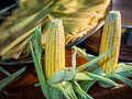 Corn two yellow cobs Royalty Free Stock Images