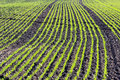 Corn young plants in a rows on cultivated farmland Royalty Free Stock Photo
