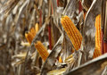 Corncob of maize - Zea Mays Royalty Free Stock Photos