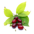 Cornel cherries Stock Photography