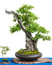 Cornel cherry cornus mas as asian art of a bonsai tree white isolated Royalty Free Stock Photos