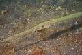 Cornet trumpet fish fistularia commersonii underwater close up eye macro detail Stock Image
