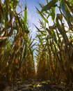 In a cornfield Royalty Free Stock Photo
