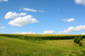 Cornfield and Blue Sky Royalty Free Stock Photo