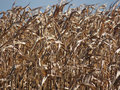 Cornfield close up dried corn standing in a field in rural virginia Stock Images