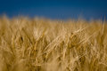 Cornfield ears of barley in detail with blurred background and blue sky Royalty Free Stock Photography