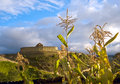 Cornfield near the ruins of the inca fortress ingapirca ecuador kichwa inkapirka wall town in cañar province and name an incan Stock Photo
