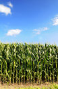 Cornfield Over Blue Sky Royalty Free Stock Photo