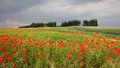 Cornfield with red poppies in the countryside, tuscany landscape Royalty Free Stock Photo