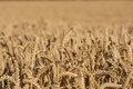Cornfield with ripe wheat Royalty Free Stock Photo