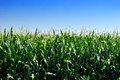 Cornfield in the summer under the blue sky Royalty Free Stock Photo
