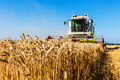 Cornfield with wheat at harvest a a combine harvester work Royalty Free Stock Images