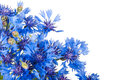 Cornflower. Bouquet of wild blue flowers. Royalty Free Stock Photo
