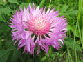 Cornflower - close-up pink flower in grass Royalty Free Stock Photo