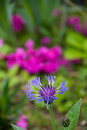 Cornflower in the garden Royalty Free Stock Photo