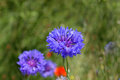 Cornflower on a wild meadow Royalty Free Stock Photo