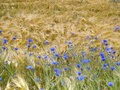 Cornflowers in barley field Stock Images