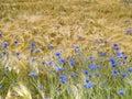 Cornflowers in barley field Royalty Free Stock Photo