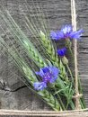 Cornflowers and ears of barley Royalty Free Stock Photo