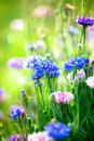 Cornflowers wild blue flowers blooming closeup image Stock Photo
