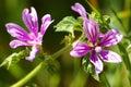 Cornish mallow flowers (Lavatera cretica)